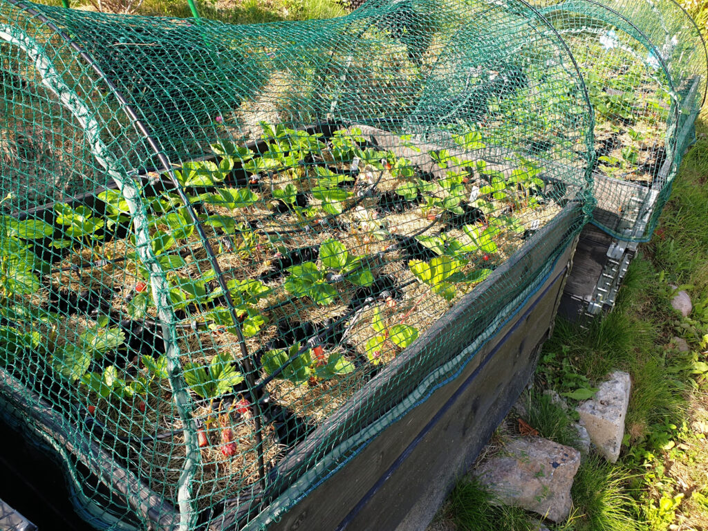 Strawberry plants in plastic pots with watering system under net cover. Healthy food concept. Beautiful background.
