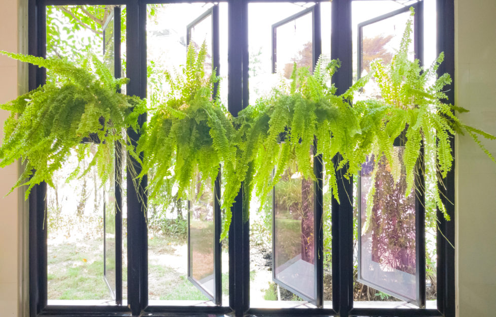 Nephrolepis ferns, Green fern plant in black pots hanging in row inside the room near opening window with outside garden background.;