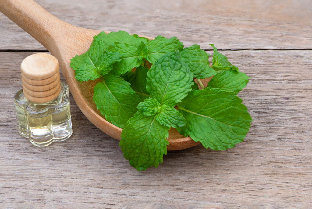 Closeup fresh green mint (spearmint) leaves in wooden spoon and small glass bottle of extracted essential oil isolated on old wood board background. Natural herbal medical aromatic plant concept.