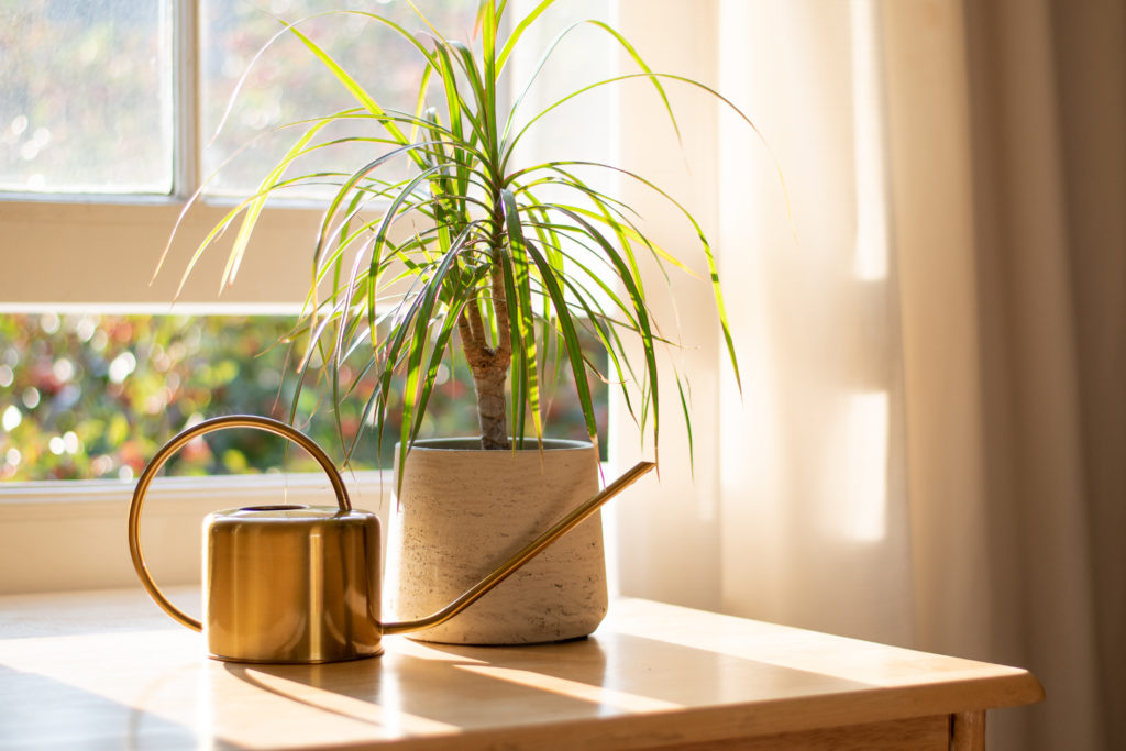Dragon tree dracaena marginata next to a watering can in a beautifully designed home interior.;
