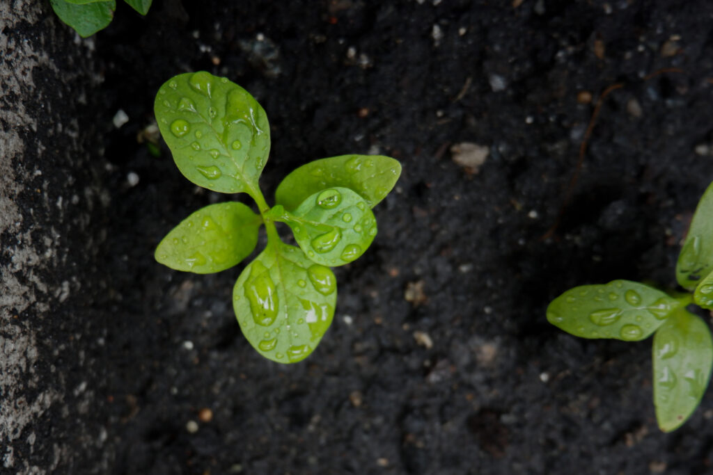Young plants with droplets of rain growing from black soil in Styrofoam box;