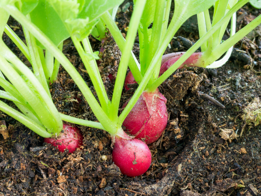 Detail of radishes, Raphanus sativus, growing in soil ready to eat or add in healthy salads;