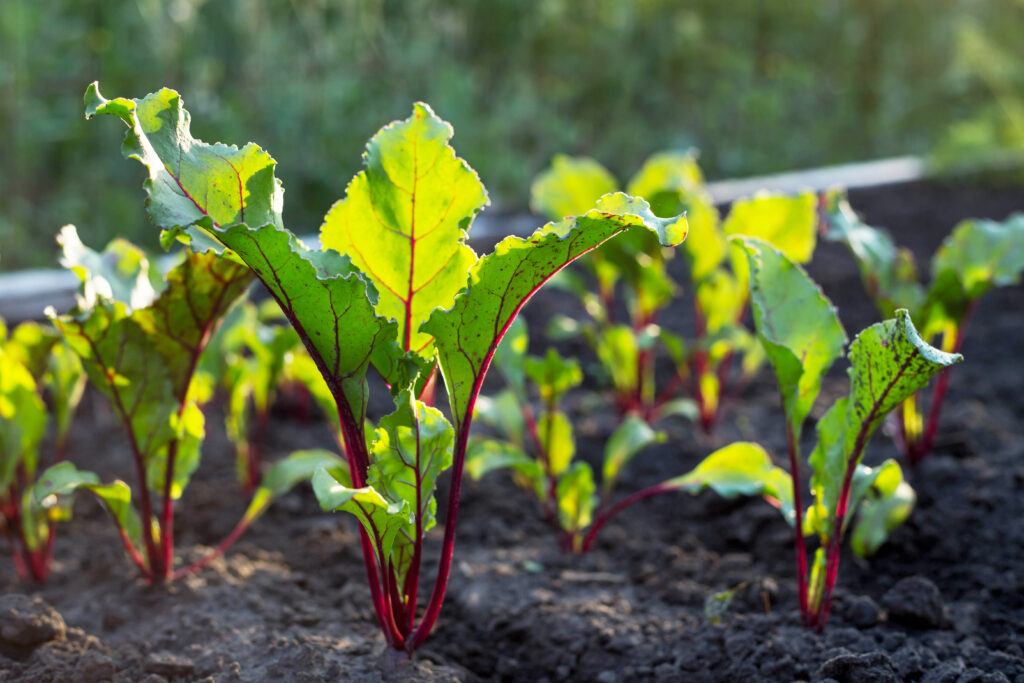 Young green beetroot plans on a path in the vegetable garden;