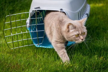 Pedigree cat comes out of pet carrier into garden, sniffing