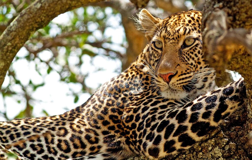 Wild leopard lying in wait atop a tree in Masai Mara, Kenya Pic: Shutterstock