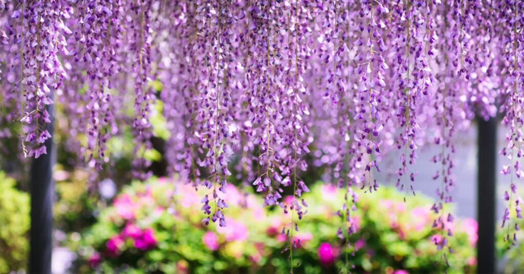Purple wisteria hanging, garden beyond