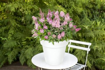 pot of buddleia Little Pink