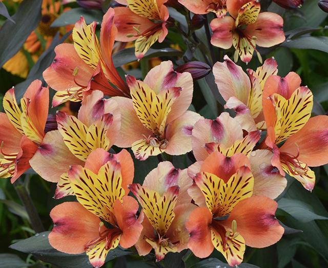 Long lasting Peruvian lily