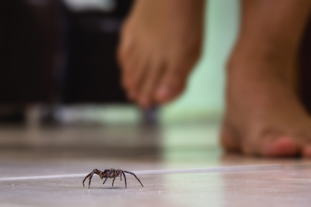 common house spider on a smooth tile floor seen from ground level in a floor in a residential home;