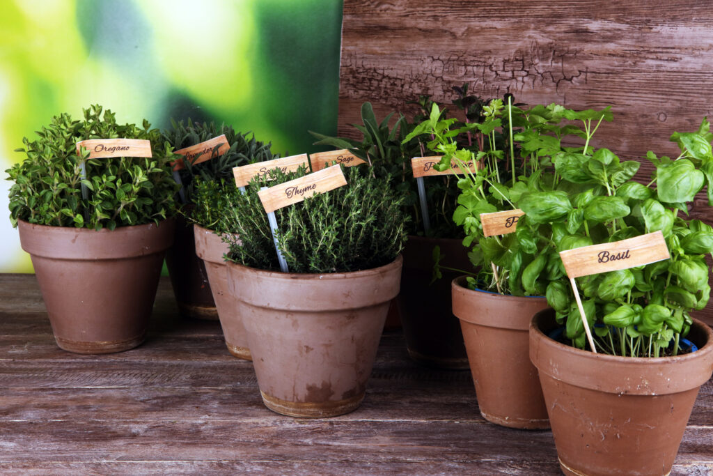 Homegrown and aromatic herbs in old clay pots. Set of culinary herbs. Green growing sage, oregano, thyme, savory, mint and oregano with labels;