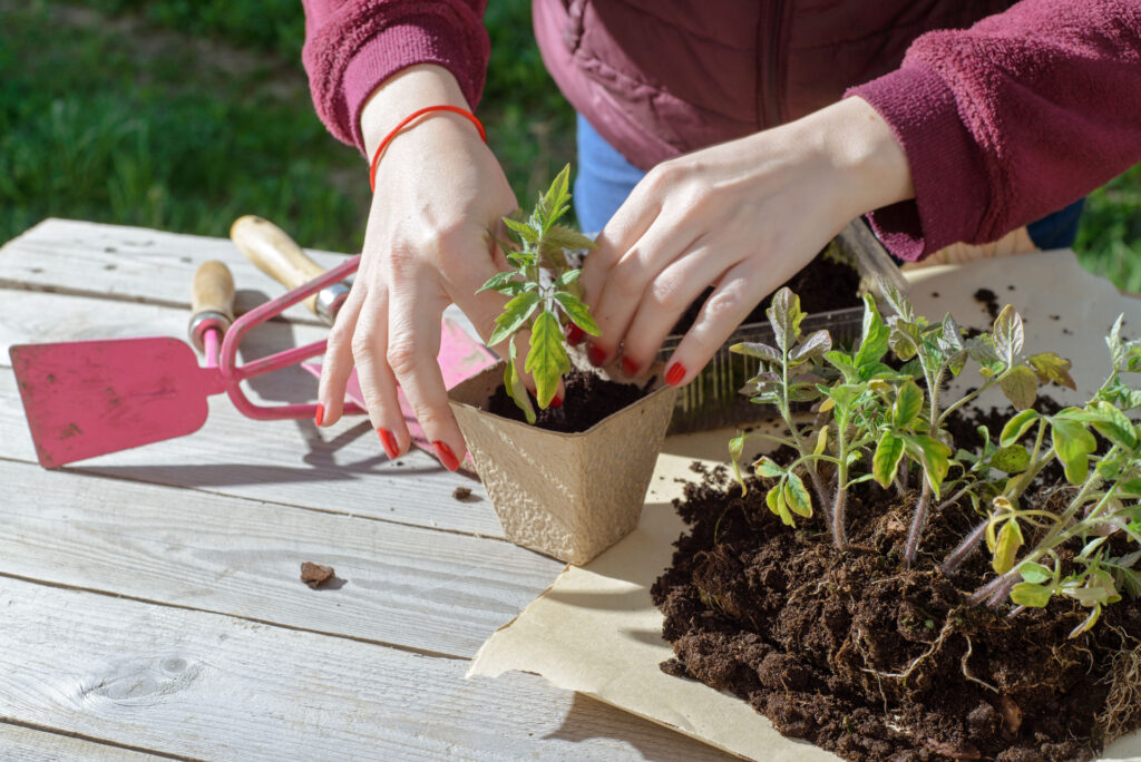 young woman planting tomatoes plants to the paper pots.