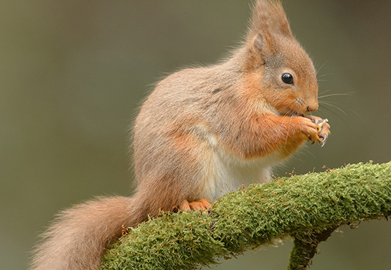 A wild Red Squirrel feeding, perched on a moss covered branch.