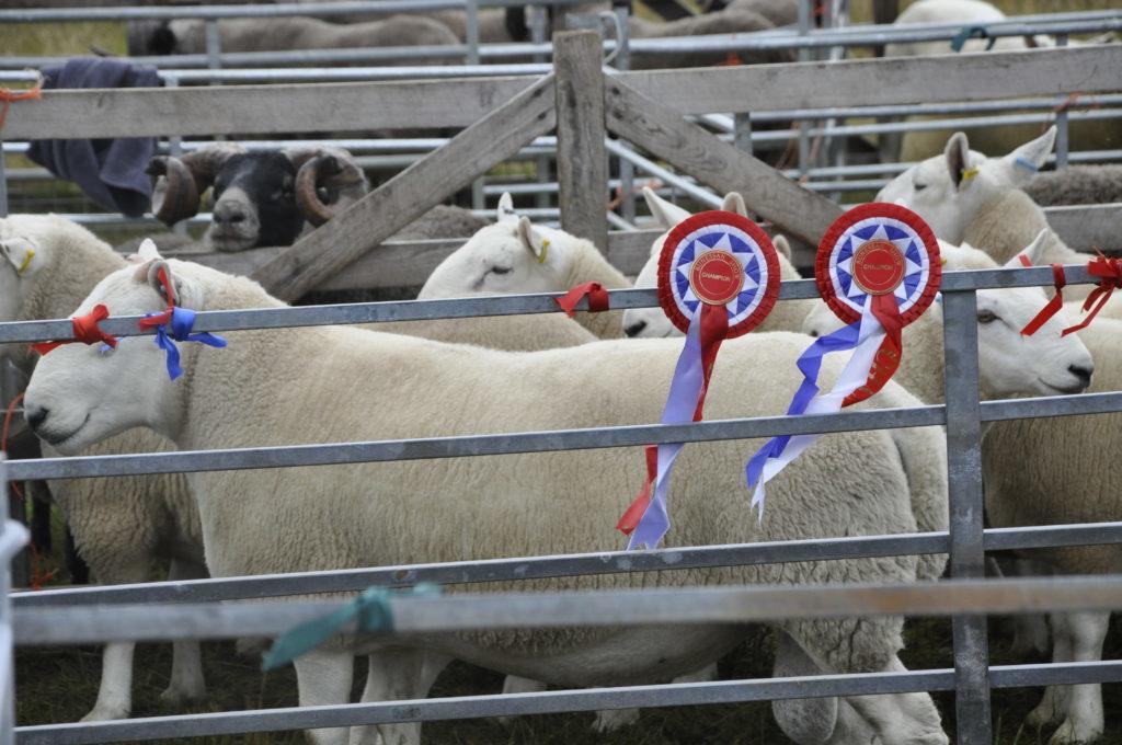 Rosette sheep after impressing show judges