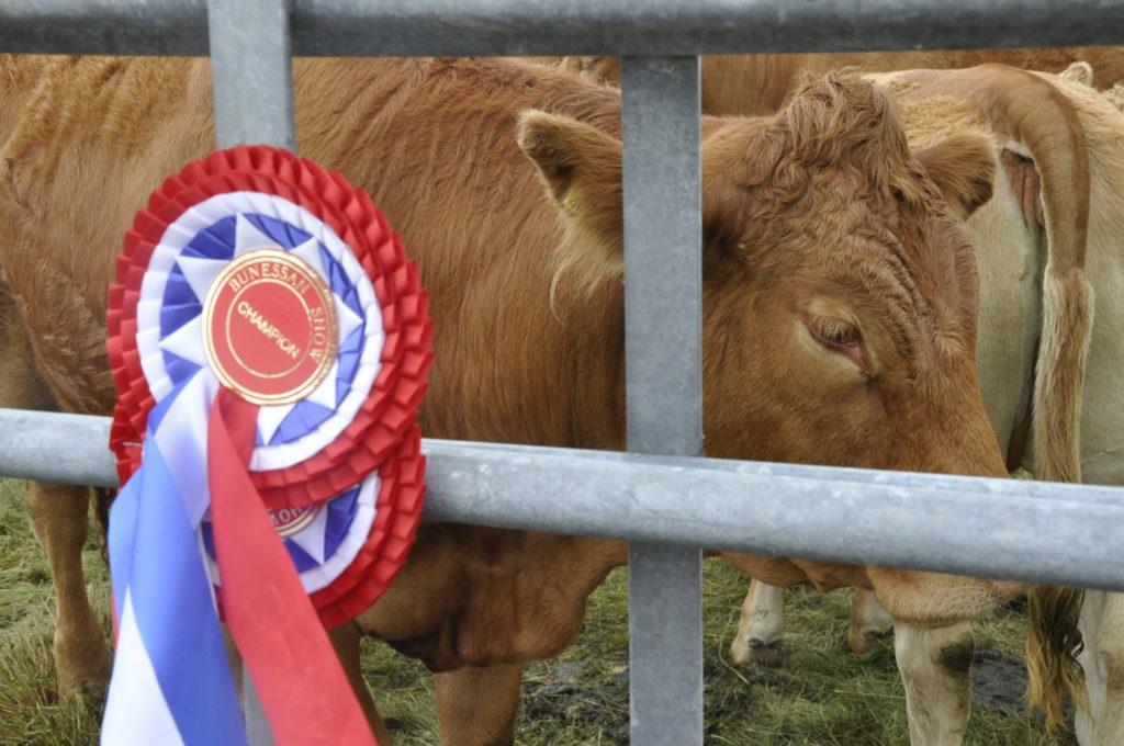 Champion cattle at Bunessan Show