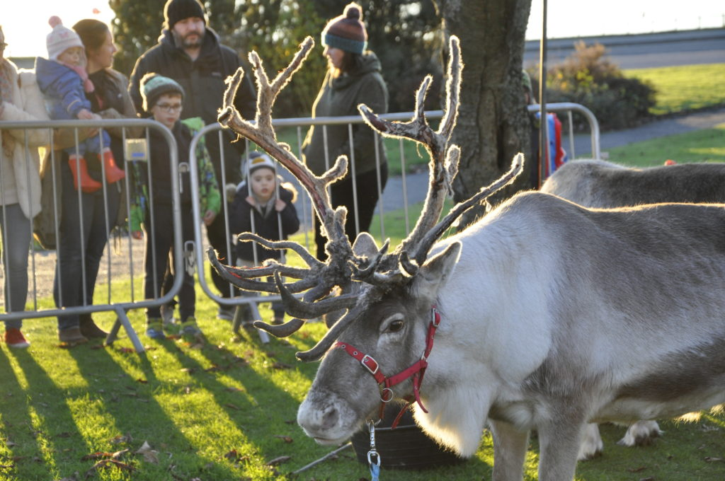 Reindeer fuelling up on food ready for Saturday's parade through Oban.