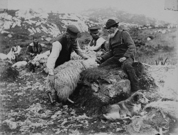 Sheep shearing...