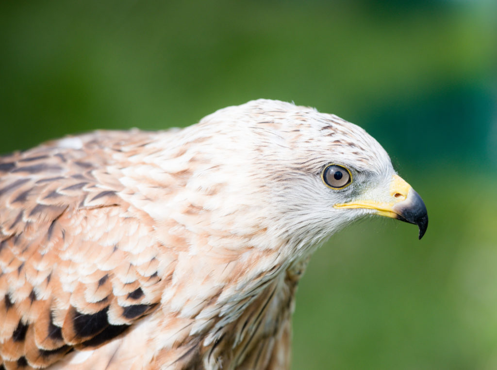 A red kite was among the birds of prey on display.  NO F35 LAS 2019 - red kite