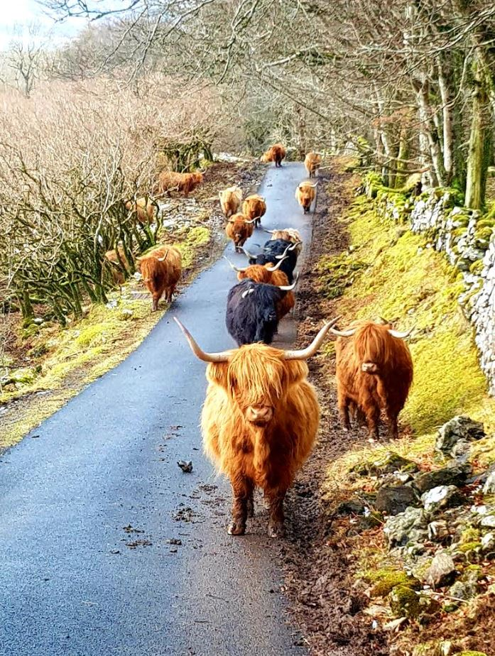 Highland Cows at rush hour.