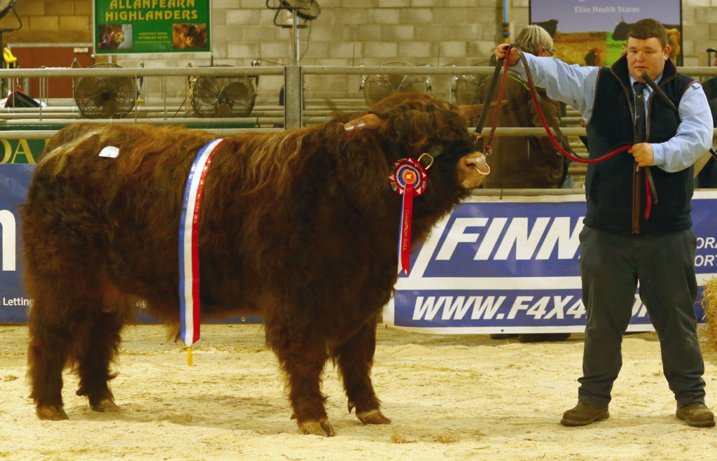 Two year old champion and overall champion male, K2 of Cladich owned by Queenie and Jon Strickland who own the Cladich Fold of Highland. It sold for 6,500 gns. Photograph: Kevin McGlynn. NO_T07_HighlandCattleShow01_Photograph Kevin McGlynn