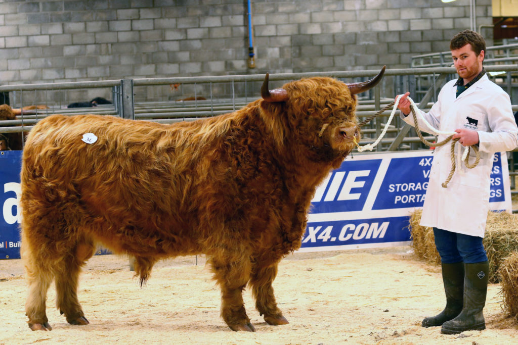 This senior bull fetched the top price at the highland cattle sale in Oban, going for 6,800 gns. It is owned by Mr & Mrs AA MacDonald Ardbhan Kyles Bayhead North Uist and is being handled by Muran Vallay. NO_T07_HighlandCattleShow02_Photograph Kevin McGlynn