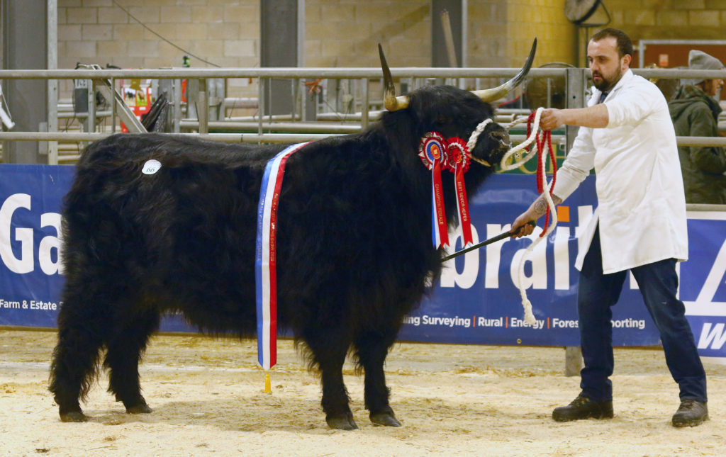 Overall female champion, Diorbhail Dhubh 3rd of Craigowmill, wned by Mr K W W and Mrs E M Brown and brought out by Malcolm MacNaughton. It sold for 5,000 gns. NO_T07_HighlandCattleShow03_Photograph Kevin McGlynn