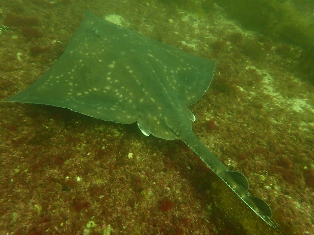 Rare flapper skate, they can grow up to 8ms across their wingspan. Picture courtesy of David Ainsley