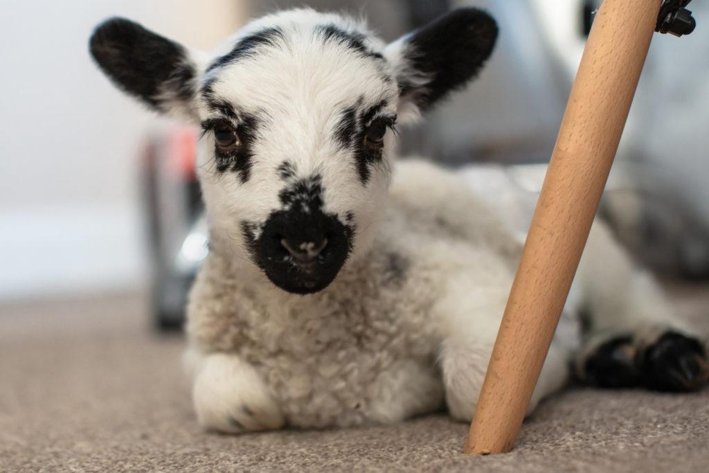 Rocky the house lamb.