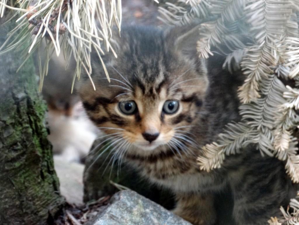 Scottish wildcat kittens born