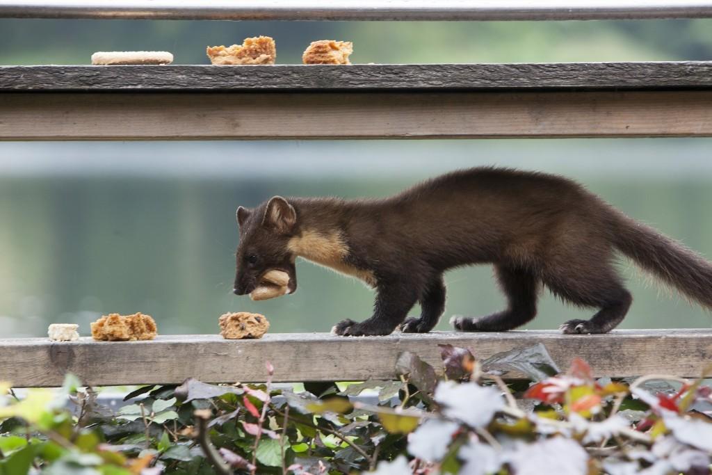 Clan of cake-eating Pine Marten's thrive at Scotland's hidden power station