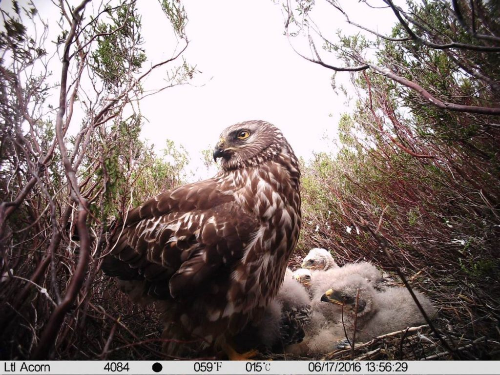 Public urged to report hen harrier sightings