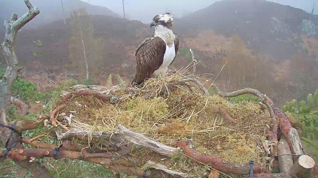 Loch Arkaig's osprey chick growing up fast
