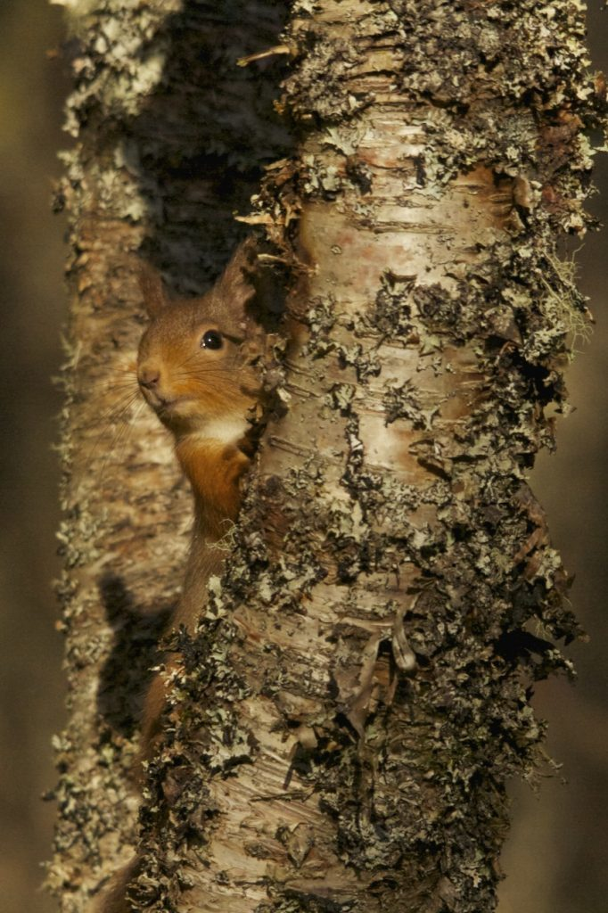 National park visitors urged to take part in red squirrels survey