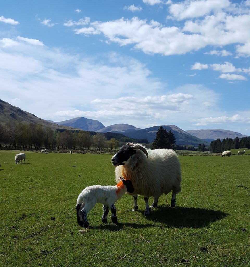 Lambing and grassland to the fore at research farms