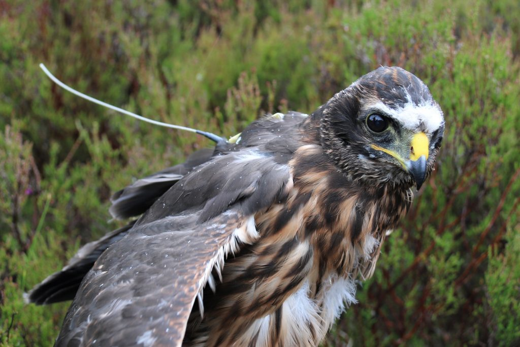 Record number of harrier hens fitted with transmitters