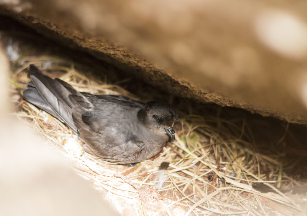 First storm petrel chick for Shiant Isles