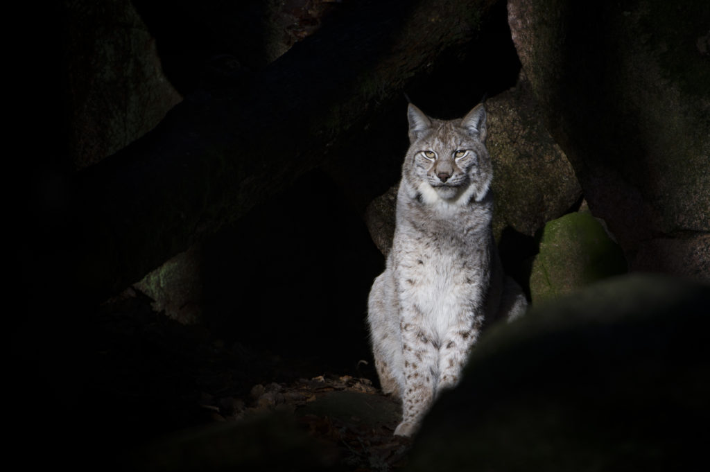 National Sheep Association tackles Scottish Lynx release plan