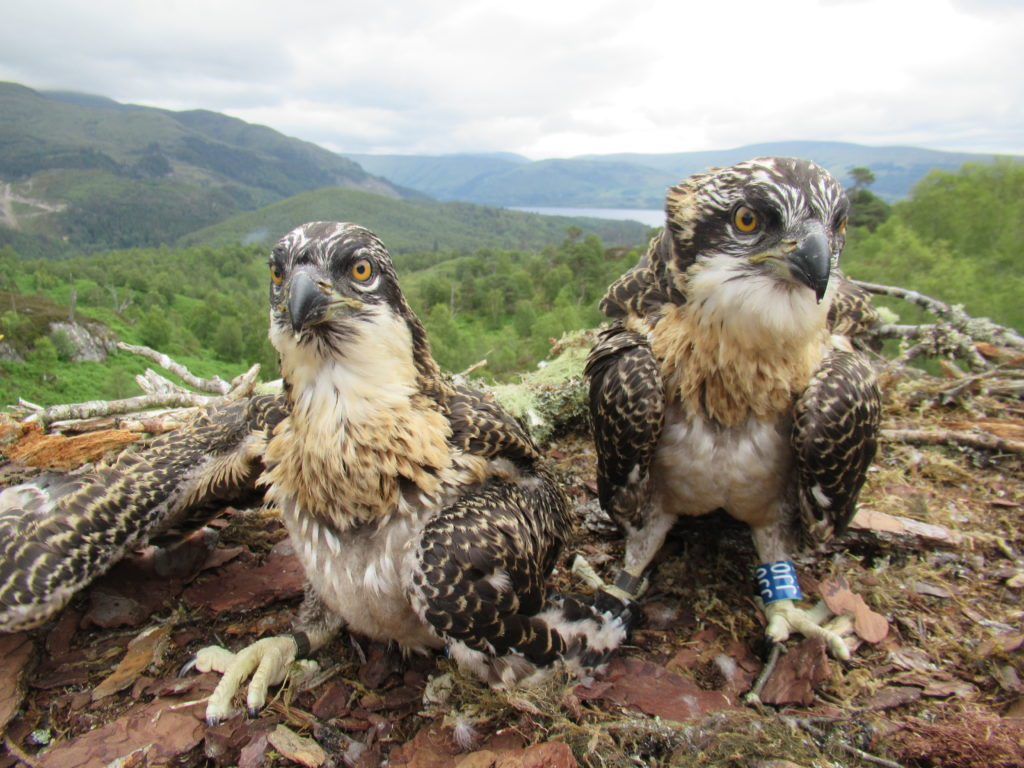 Trust seeks names for Loch Arkaig osprey chicks