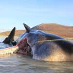The carcass of the young adult male sperm whale lies on Luskentyre beach on Harris. Photograph: SMASS NO Harris whale plastic 02