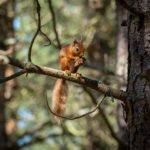 Red squirrels could be a common sight in Morvern woodlands. Photograph: Chris Aldridge|Trees for Life. NO F04 Red Squirrel Eating - Chris Aldridge HR