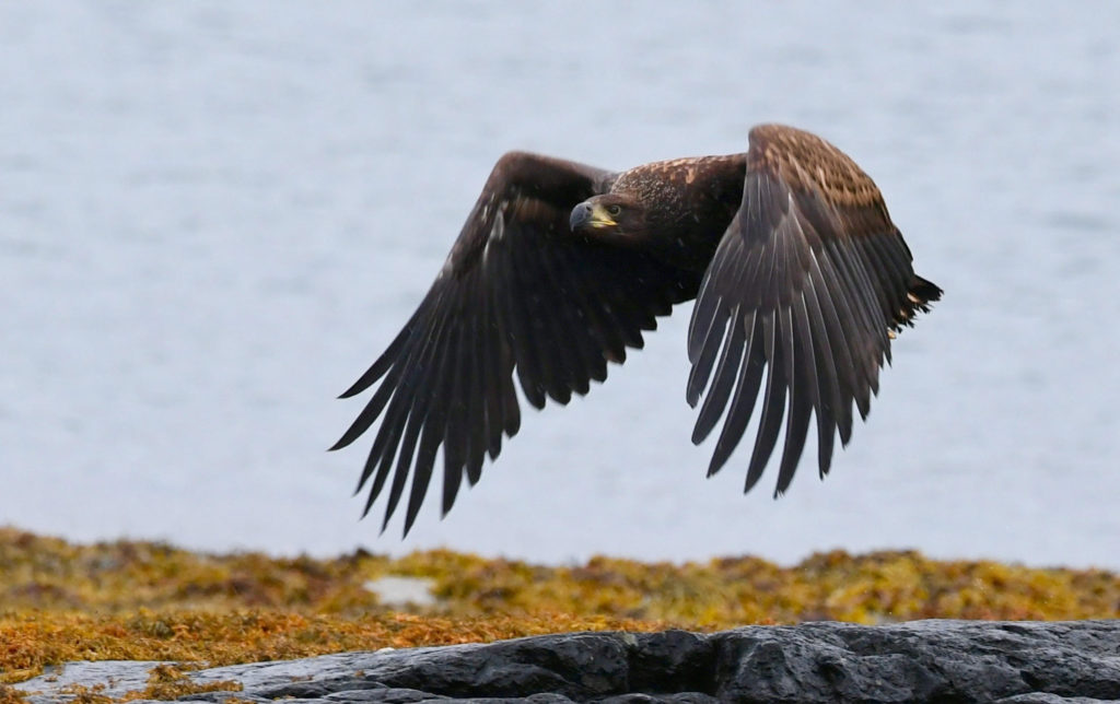 Mull's big eagles wing it to the small screen