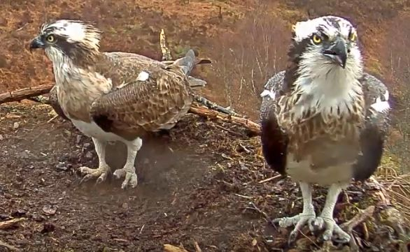 Loch Arkaig ospreys Louis and Aila, arrived back at the nest site on Saturday and Monday, respectively. NO F15 ospreys