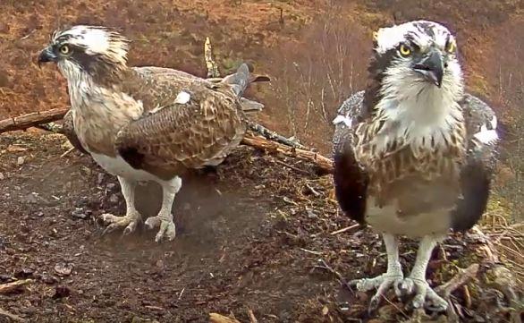 Loch Arkaig ospreys give Cornwall's coronavirus lockdown youth a boost