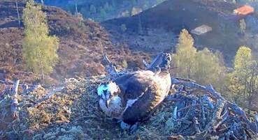 Delight as Loch Arkaig ospreys lay first egg of the season