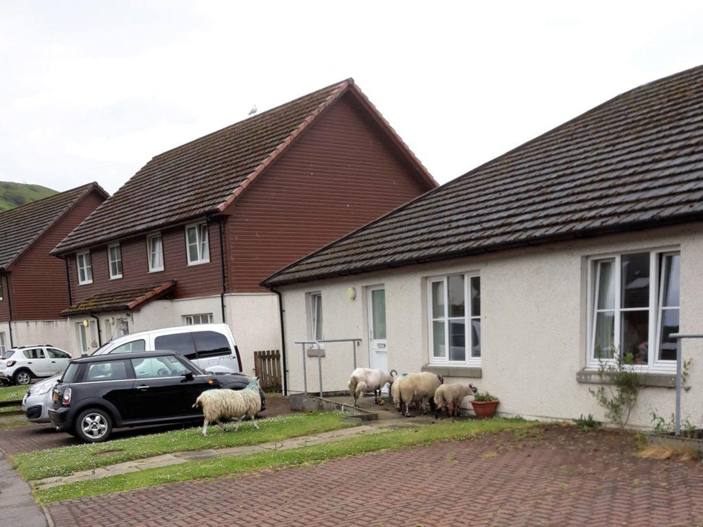 Invading sheep drive street barmy