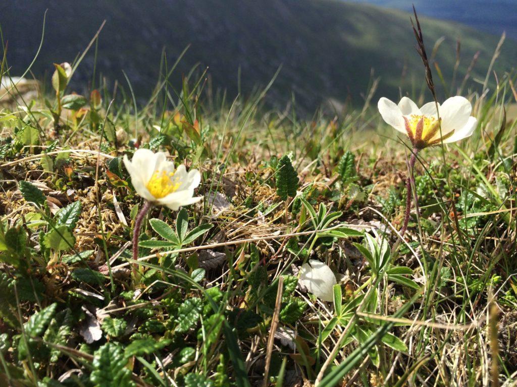 Lochaber estates help boost rare alpine flower numbers in Lake District