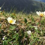 Mountain avens grow widely elsewhere in the world. NO F30 avens