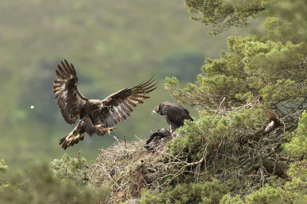 Golden eagles breed at Highlands rewilding estate for first time in 40 years