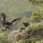 Golden eagles, such as these in the, Cairngorms National Park, have not bred at Dundreggan for 40 years. Photograph: Mark Hamblin _ scotlandbigpicture NO F33 Golden eagle nest in Cairngorms National Park © Mark Hamblin _ scotlandbigpicture
