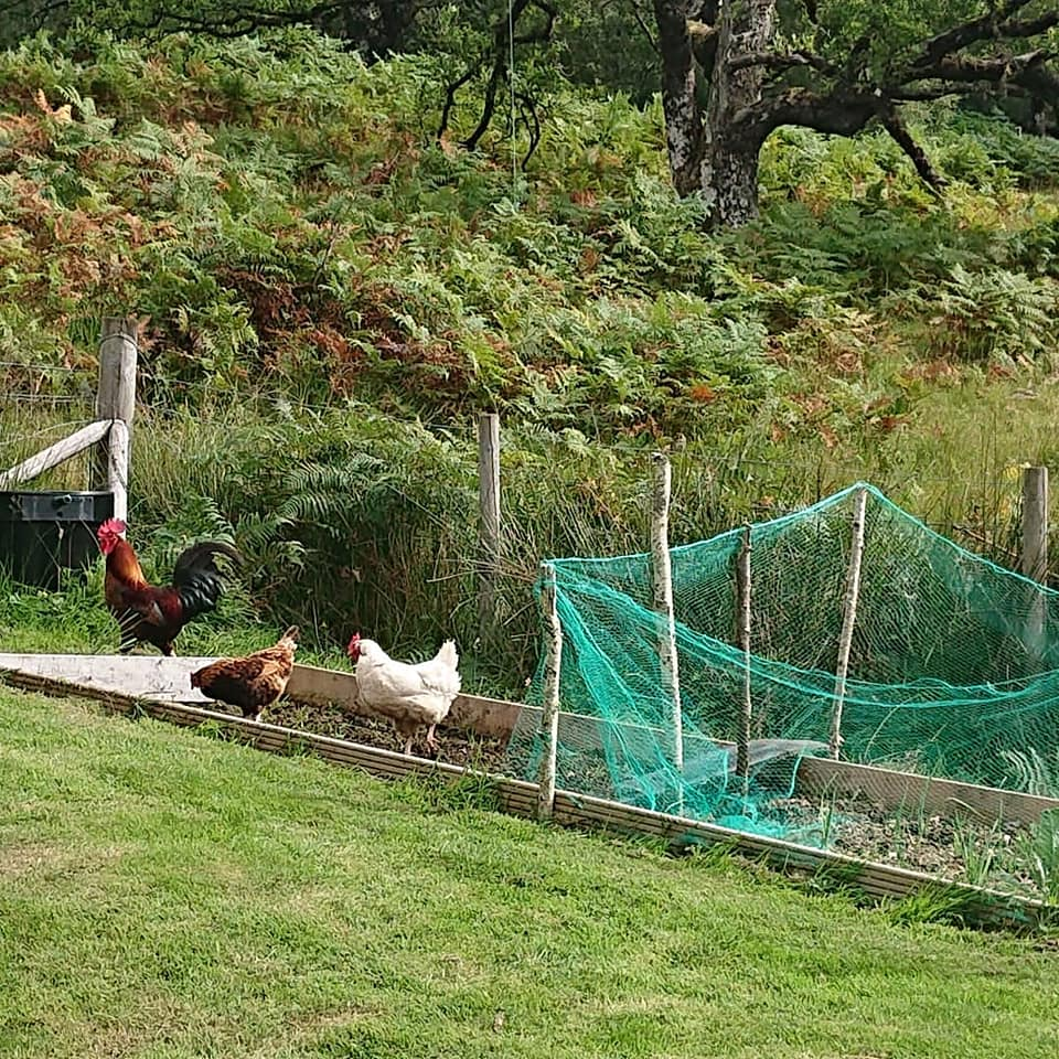Rearing animals and crops at the same time presents its own unique set of challenges. NO F37 chickens gardening