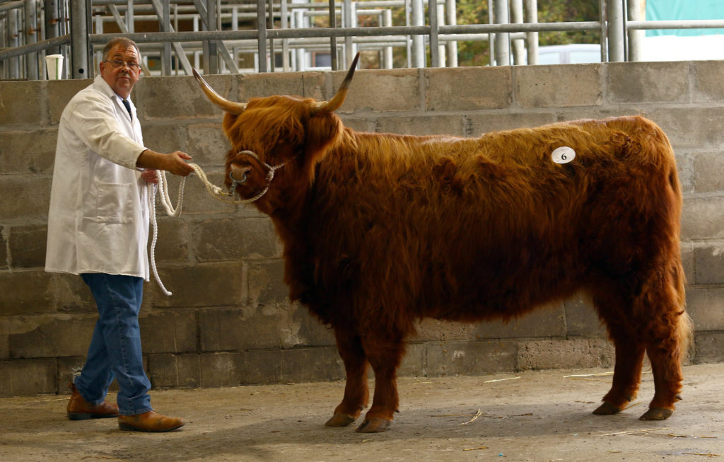 Highland Cattle Society annual autumn sale